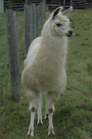Yearling Male Llama For Sale