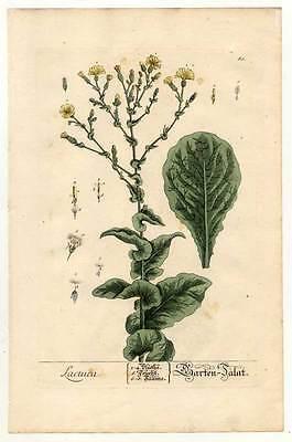 Lactuca - Garten-Salat Kupferstich Elizabeth Blackwell 1757