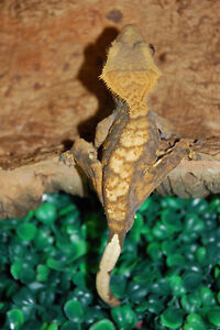 Male Crested Geckos - PRICES REDUCED!