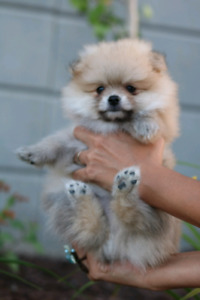Extreme Quality Bear Face Pomeranian Puppies