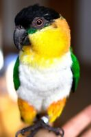 Looking for a Caique
