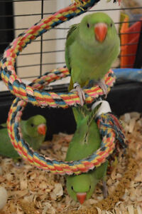 Baby Green Indian Ringneck
