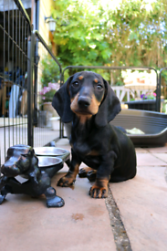 Ready Now - Dachshund Puppy For Sale