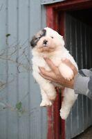 Mignon petit chien Montagne des Pyrénées