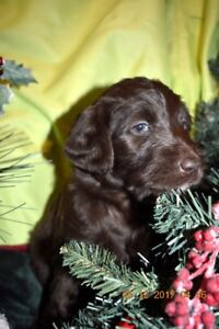 +++LABRADOODLE+F1B+SANTA LITTLE ELVES+XMAS DELIGHTS+++