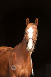 2013 Super Stakes/CBHI/Canadian Supreme Nominated Mare Strathcona County Edmonton Area image 1