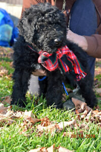+++BERNEDOODLE+F1B+REDUCED TO FIND THEIR FUREVER HOMES+++
