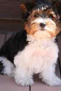 2 pure bred Biewer Terriers ready new homes