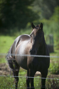 8 year old Appendix Dark Bay Mare For Sale $3500.00