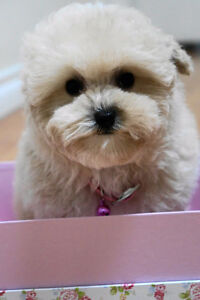 Cuddly and Super Sweet Tiny Toy Teacup Poodle!  Baby Girl!