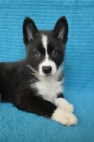 RARE Pomsky Puppies! Winter Litters! *SALE*