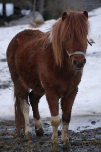 Poney etalon 4 ans