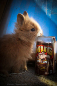 Sweet Lionhead Kits Looking For Homes After Easter