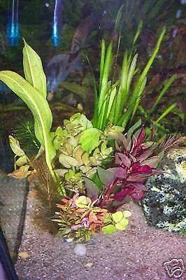 !! ANGEBOT !! 10 Wasserpflanzen Bunter MIX Aquarium gegen Algen (€0,55/Stk) (Fisch-aquarium Pflanzen)