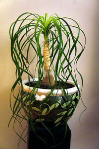 Ponytail Palm plant with pot Kingston Kingston Area image 2
