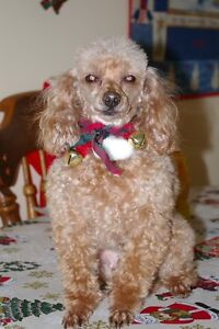 Toy Poodle, Woodlawn