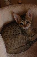 cat savannah f5 sbt
