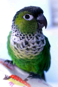 Conure black cap are very social only one left