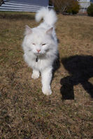 Missing Cat!! long haired white called Simba ( Simmie )