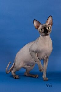 Special Needs Sphynx adult to forever home