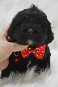 Beautiful Larger Cockapoo puppies for sale