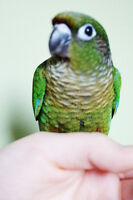 SALE ON TWO BABY GREEN CHEEK CONURES READY TO GO!!!