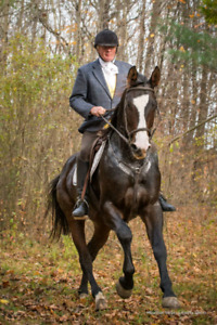 17 hand Canadian sport horse