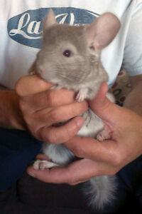 Two Young Chinchillas For Sale