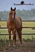 Beautiful Red Dun 3 yr old Reg. Quarter Horse Gelding for sale