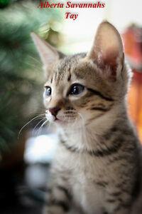 Registered Savannah Kittens
