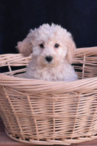 cockapoo puppies ready to go now!!!