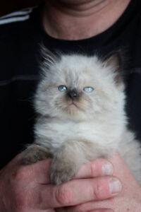 Beautiful Himalayan Ragdoll Kittens