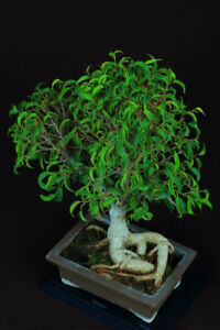 Bonsai - Miniature Fig