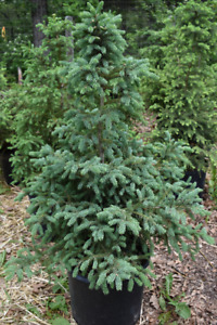 WHITE SPRUCE TREES FOR SALE in 7 Gallon Containers