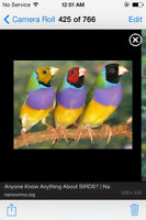 """Lady Gouldian Finch"""