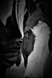 ISO  15.2-16 hand younger paint  or Appaloosa mare