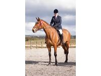 Stunning 17hh Gelding For Sale **Must Sell**