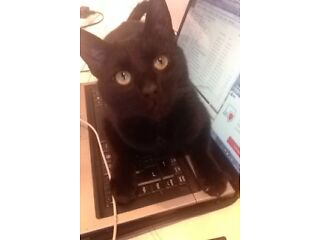 Missing black cat - holy cross -wallsend