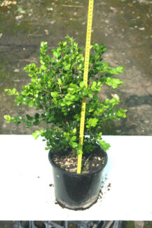 Buxus Japonica in 200mm pots - 4 year old Austral Liverpool Area Preview