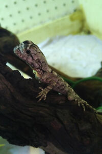 Frilled Dragons