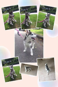 3months husky looking for new home