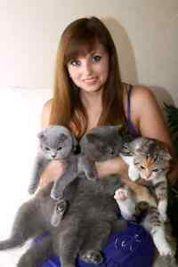 Looking for a free Scottish Fold or Russian Blue kitten