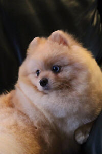 CKC Registered Male Pomeranian