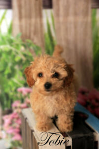 Parti Toy Poodle (VERY SMALL) and Malti Poos