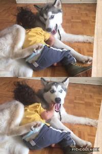Husky Needs New Home