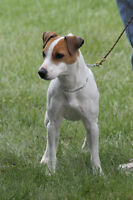 Jack Russell Chiot