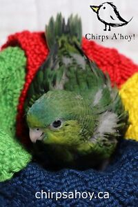 Lineolated Parakeet for adoption
