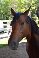 Looking to board horse in Dieppe/Memramcook area