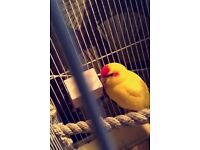 2 hand tame baby kakariki parrots with cage and food