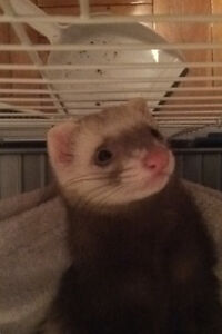 Female ferret with cage and other $300